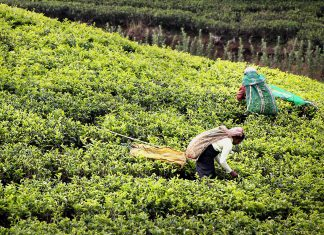 tea-harvest-2132767_1280bypixabay
